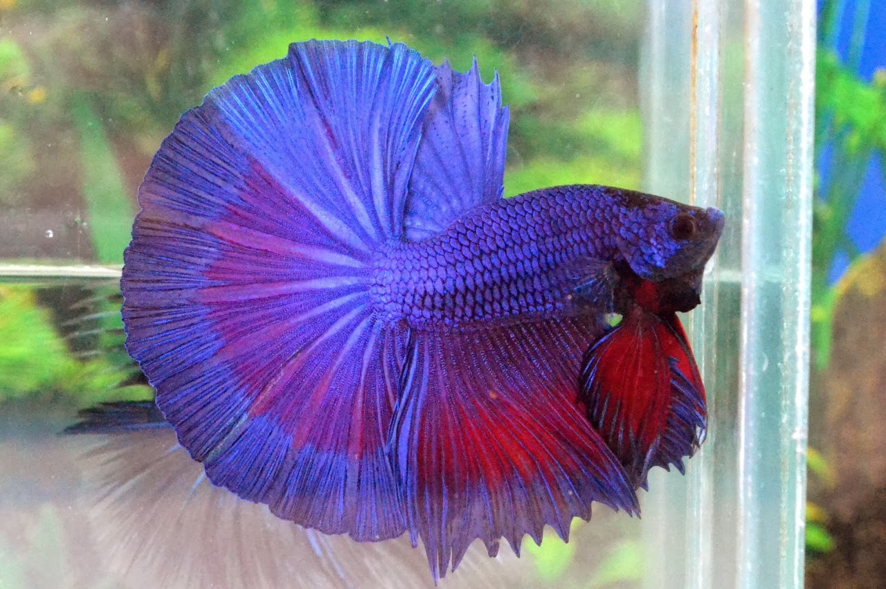 red fantail betta