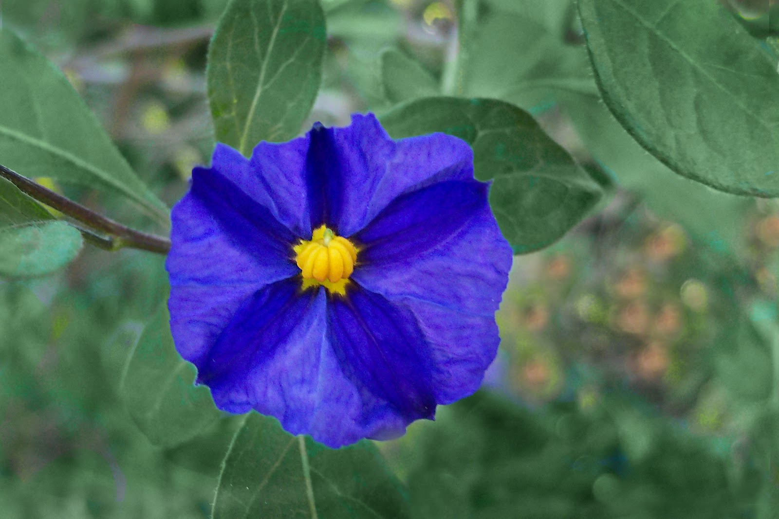 Blue Flower With Yellow Center Name