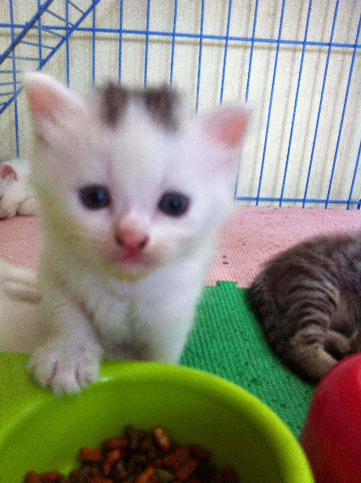 Cara Menggemukan Kucing