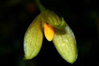 Orchid of Peninsular Malaya
