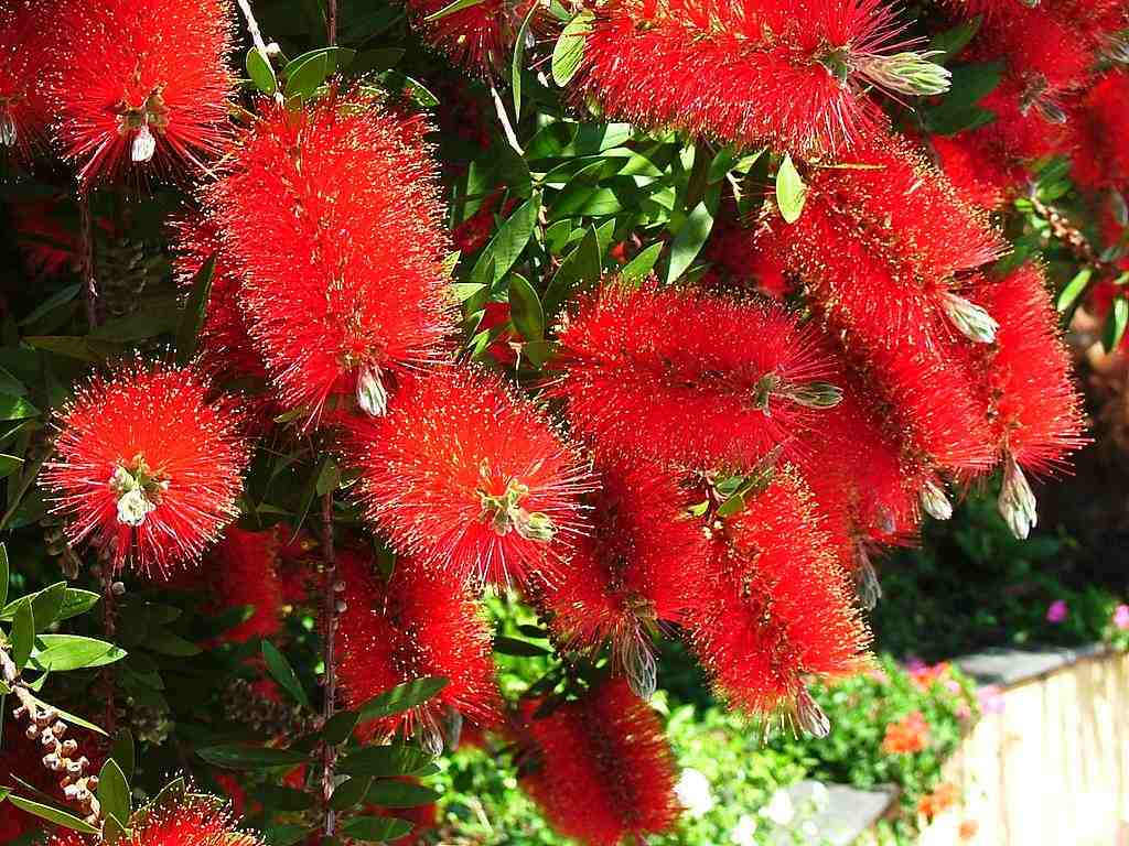 Trees planet callistemon viminalis weeping bottlebrush for Plante exterieur plumeau