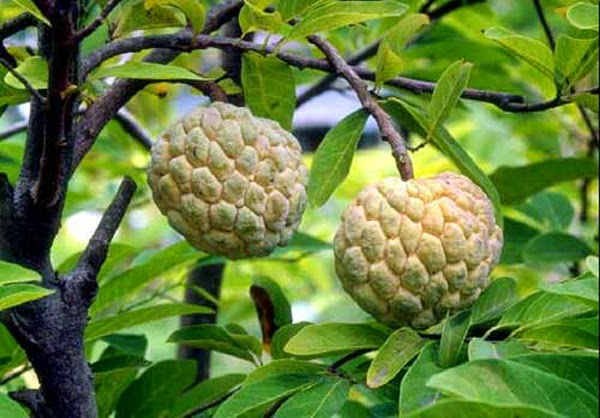 Benefits And Nutrition Of Custard Apple (Annona Reticulata) For Health