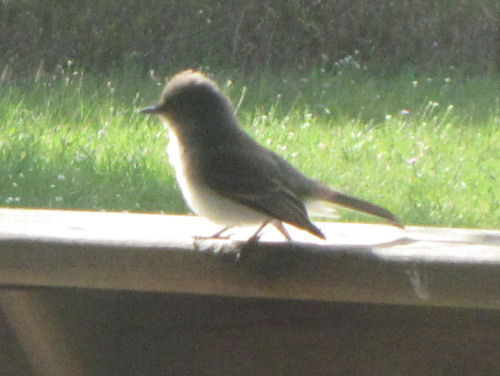 eastern Phoebe