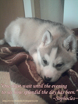 Funny husky pictures 7