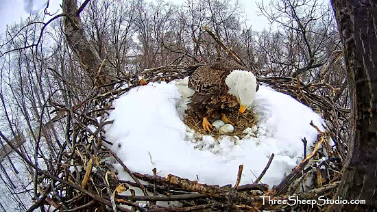 Amazing Bald Eagle live Webcam at Lancasteronline