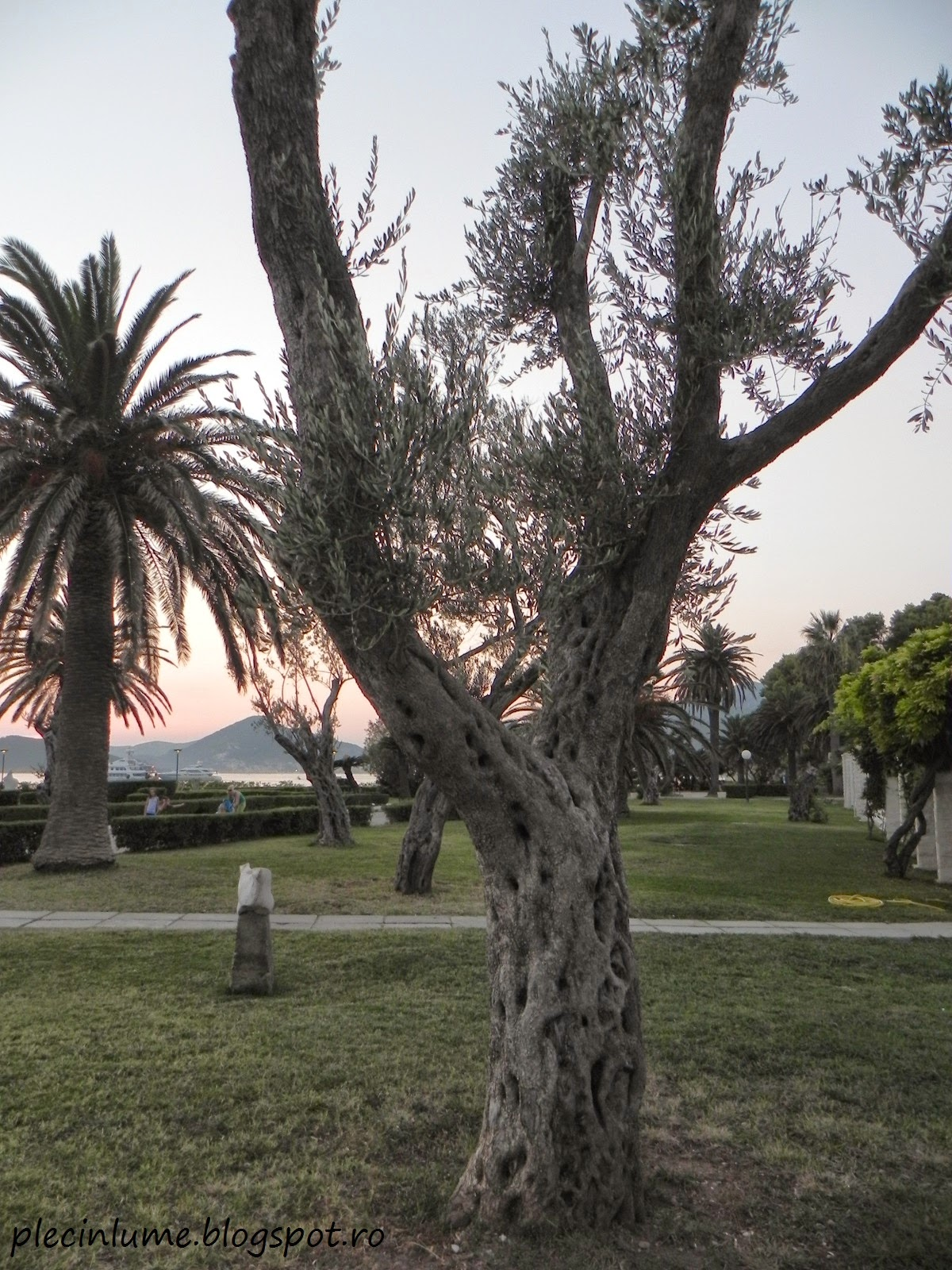 Parc cu maslini in Sveti Stefan