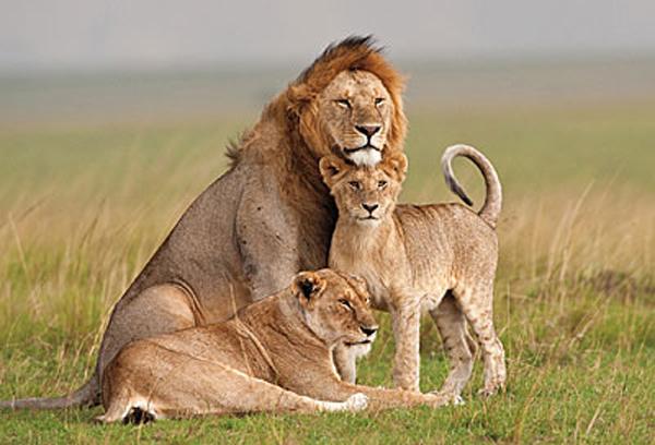 lion,lioness,world class animal,white lion,funny lion,lion kissing,cub,mammalia,animalia,chordata,leo,sleeping lion,lion hunting,dangerous animal