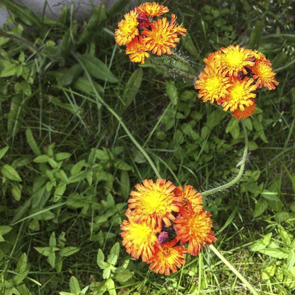 ogräs, weeds
