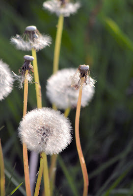 photo of dandelions by Nancy Zavada