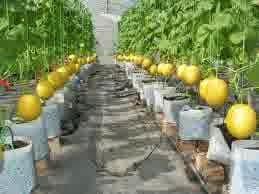 Cara Budidaya Buah Melon Dalam Polybag