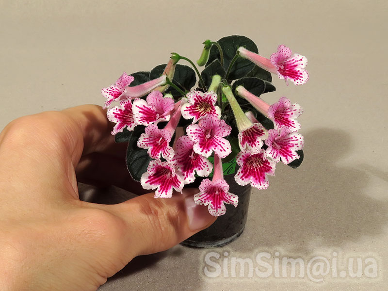 "mini Sinningia ""SimSim Hummingbird"""
