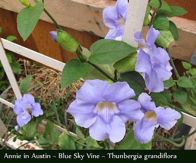 Annieinaustin Thunbergia grandiflora