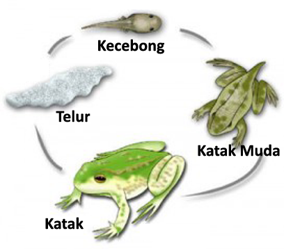 Frog or toadmetamorphosis begins when the adult female frogs lay eggs,
