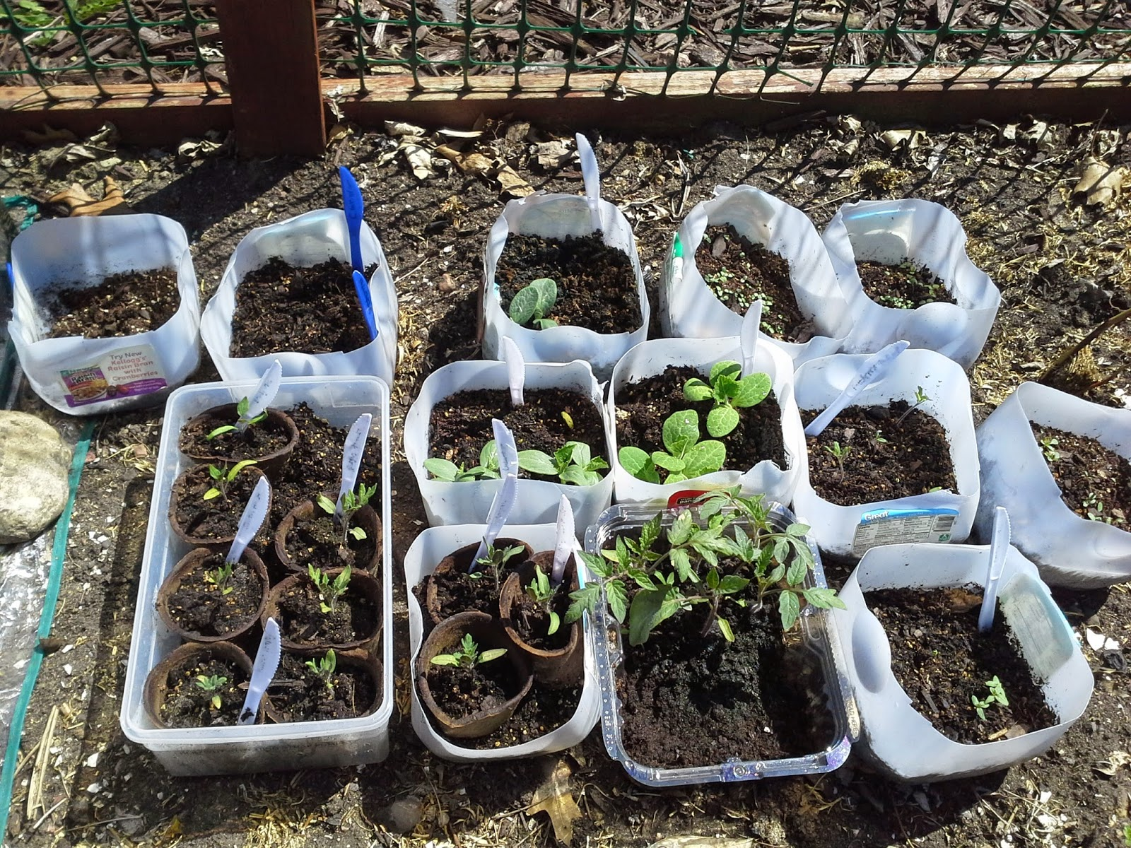 Hardening off tomato and squash seedlings outdoors