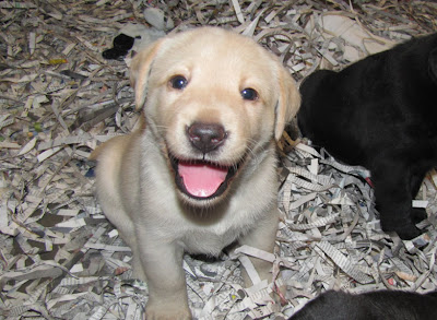 Yellow Labrador Retriever puppy from GDB breeder mom Bettymae's litter
