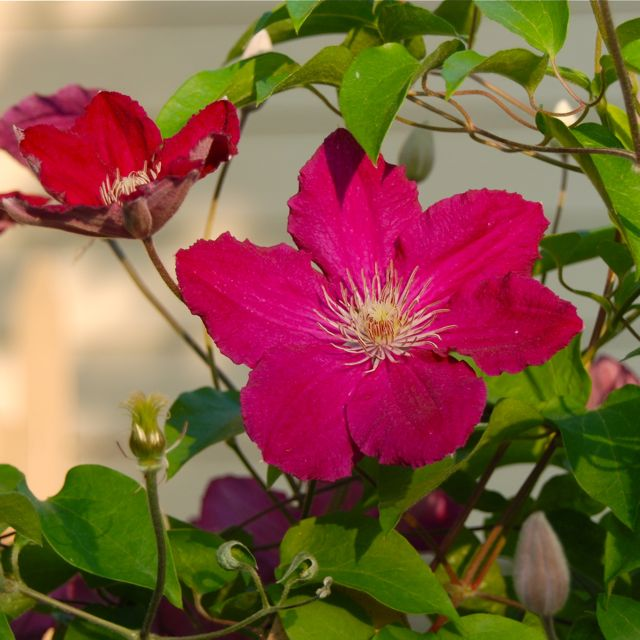 Red Clematis 'Earnest Markham'