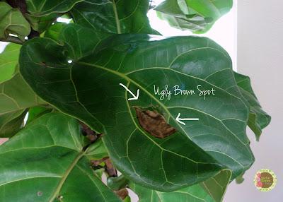 Ficus Lyrata, brown spots