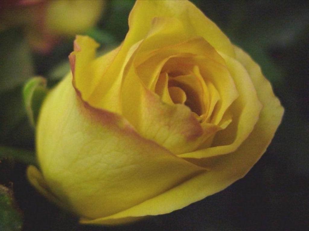 http://4.bp.blogspot.com/-MwDD-GOeRGg/T87zpwkNLaI/AAAAAAAABmc/EmS9cM_tdH8/s1600/Rose+++flowers+++Free+Natural+wallpaper+-+sunrise+-+sunset+-+green+nature+-+system+wallpaper+-+system+sceensaver+(10).jpg