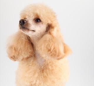 poodle, dog