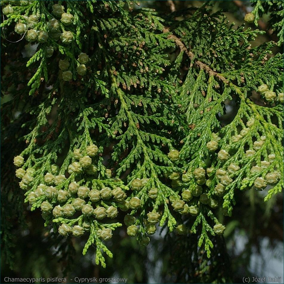 Chamaecyparis pisifera  - Cyprysik groszkowy owoce