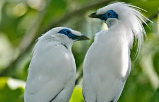sepasang-jalak-bali-si-burung-eksotis