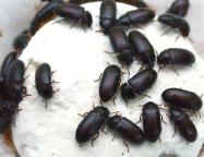 Manfaat Dan efek Samping Semut Jepang Untuk Pengobatan
