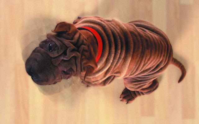 shar pei, puppy pictures, funny