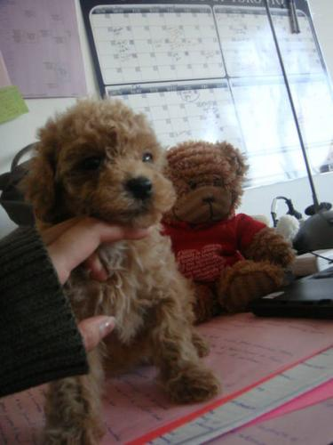 Teddy Bear Poodle Haircuts Hard To Resist Scarlets Fancy Poodles