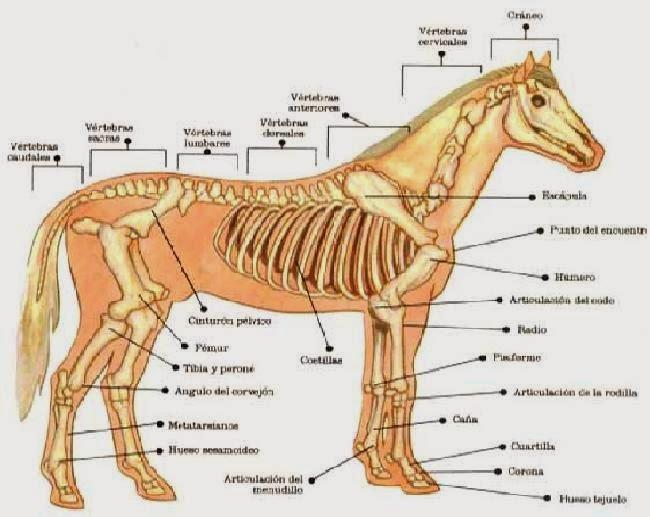 A Ritmo de Galope: ¿ Qué sabe usted acerca de la Anatomía de los ...