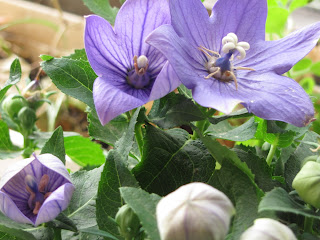 многолетник, платикодон крупноцветковый, синие цветы, цветы дома, оранжерея