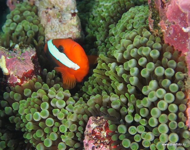 Оранжевый анемон фиш в зеленом анемоне между кораллов