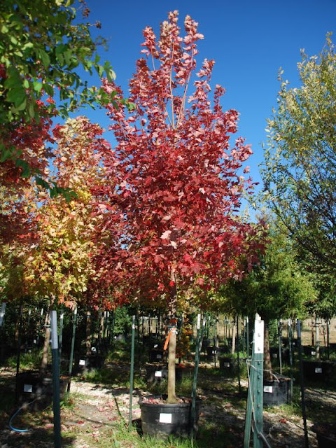 Autumn Blaze Maple6