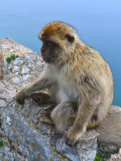Meet my little Barbary Macaque from the top of the Rock of Gibraltar. There are only approximately 300 these mischievous characters living here.