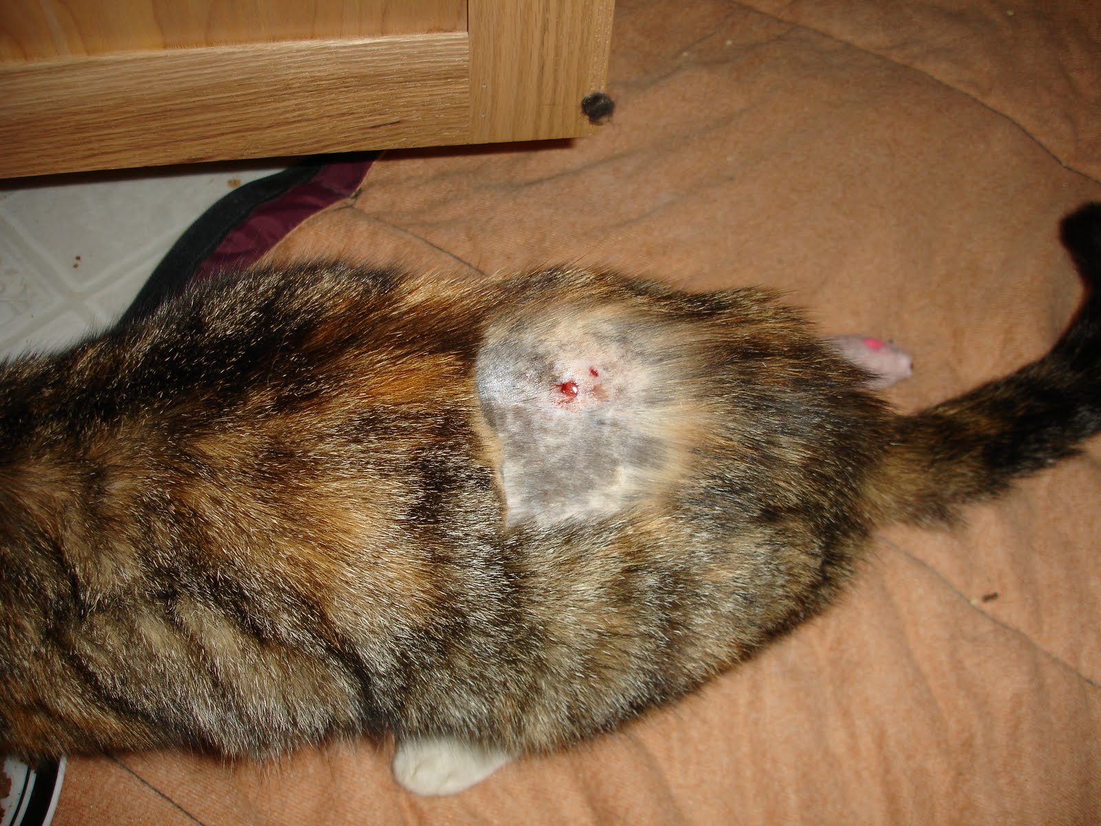 how to heal massive open cat wounds