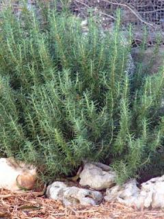 rosemary, Texas gardening, organic garden, Earthly Gardener blog, Bobbi Chukran