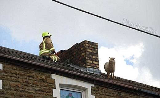 Seekor Domba Terjebak di Atap Rumah Diselamatkan oleh Petugas Pemadam Kebakaran -- animal -- binatang -- FaceLeakz