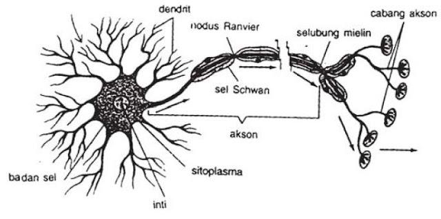 Pengertian dan Macam-macam Bagian serta Fungsi Sistem Sel Saraf pada Manusia