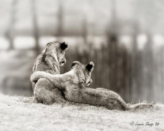 чёрно-белое фото львов со спины