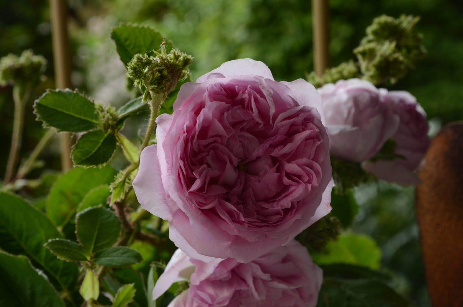 Britta liebt Rosen