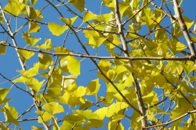 fall gingko biloba in toronto by paul jung ecological organic gardening services