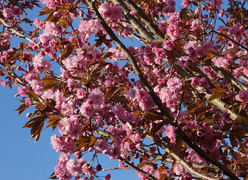 japanske kirsebærtræer bispebjerg