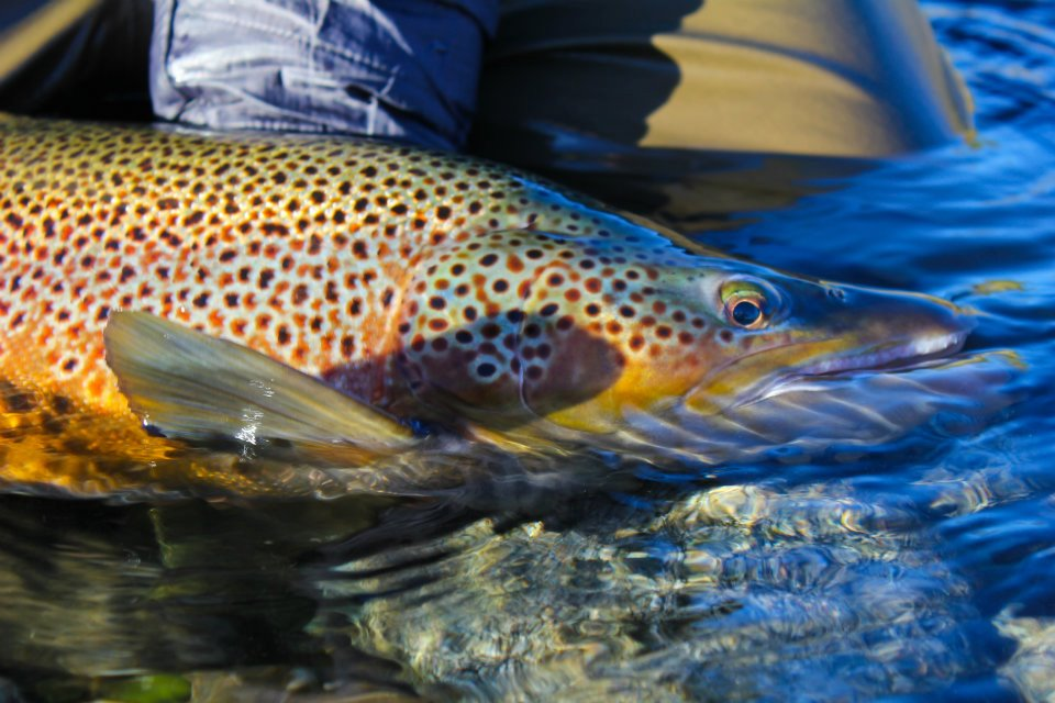 Irideus fly fishing products irideus fall run brown trout for Brown trout fly fishing