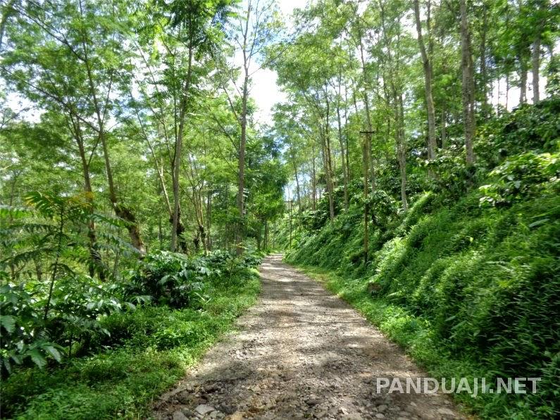 jalan di perkebunan kawisari