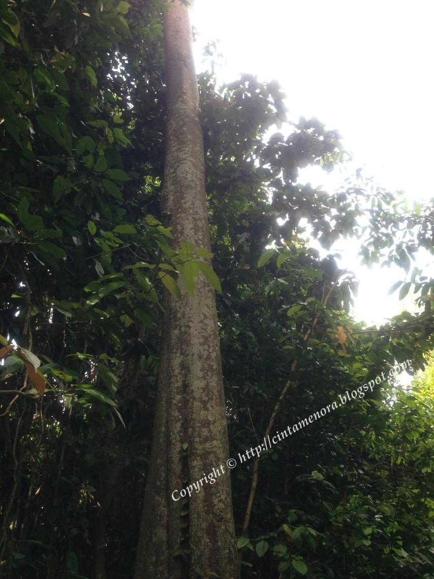 pokok hujan di pulau besar