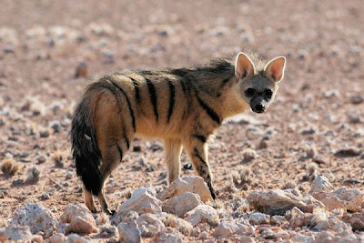 Aardwolf-Side-View-Termite-Bug-Eater