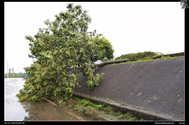 2013-07-13 蘇利颱風侵襲南投 河岸邊的樹木也被大風吹垮了!