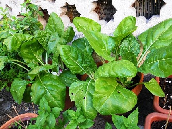 Mi macetohuerta  http://mimacetohuerta.blogspot.com.es/  (C) niko 2014