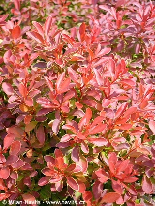 Full Of Admiration For This Blazing Barberry
