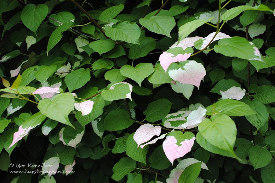 Окраска листьев актинидии коломикта