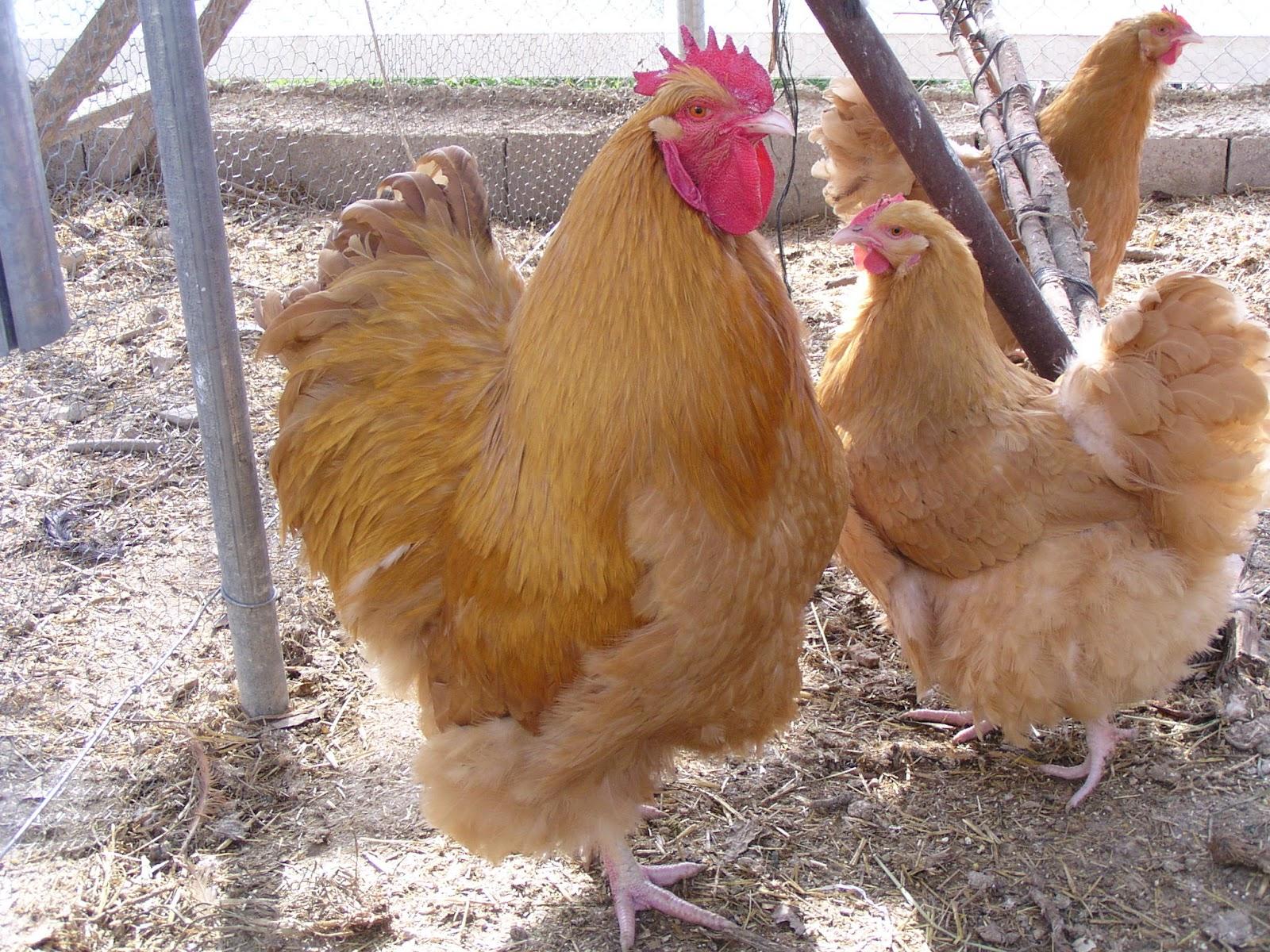Tus gallinas de raza